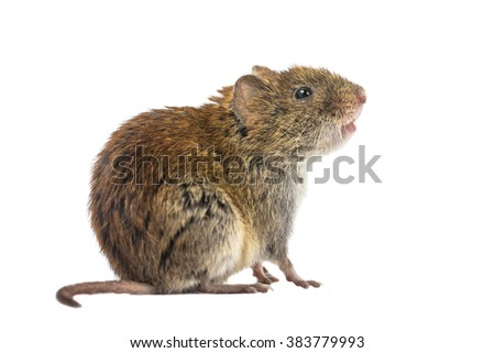 Side view of wild Bank vole mouse (Myodes glareolus) sitting on hind legs and looking up on white background