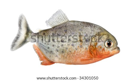side view on a Piranha fish - Serrasalmus nattereri in front of a white background - stock photo