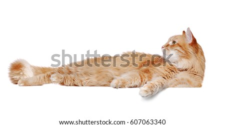 Side view portrait of a  lying big ginger cat  looking up