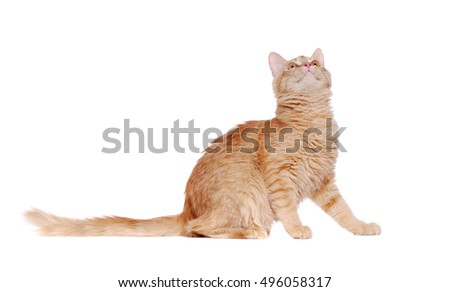Side view  portrait of a sitting ginger cat looking up