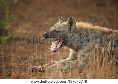 Side view portrait of  Spotted hyena, Crocuta crocuta lying on the ground  with opened mouth  in Kruger National Park, South Africa. - stock photo