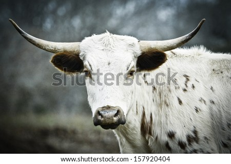 Side view Young Texas Longhorn with head turned left, looking straight in the camera. Blurred natural background. - stock photo