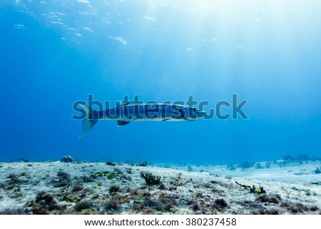Sideview of Barracuda sphyraena barracuda swimming in clear blue water