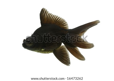Sideview of black moor goldfish swimming against white background.