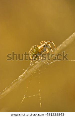Sideview of the Four Spot Orb Weaver Spider (Araneus quadratus) in its web in backlit by the golden sunlight