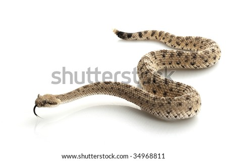 Sidewinder (Crotalus cerastes) isolated on white background. - stock photo