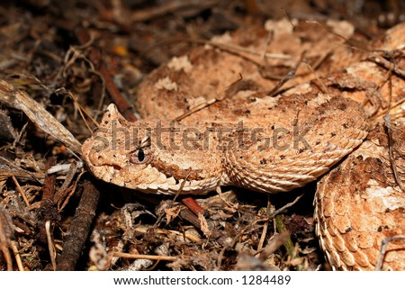 Sidewinder head and part of upper body - stock photo