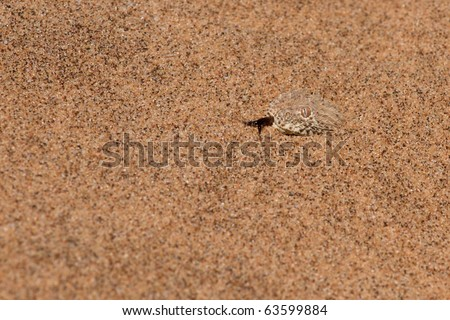 Sidewinder snake (Bitis Perinqueyi) is hiding in the sand, waiting for his pray.