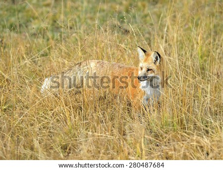 sierra nevada red fox or Vulpes vulpes necator one of americas most endangered mammals, yellowstone national park, montana, united states.
