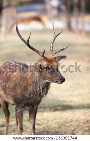 Sika Deer are found in the temperate and subtropical forests of Eastern Asia - stock photo