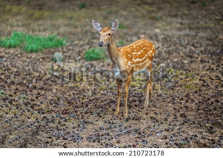 Sika deer, Cervus nippon, also known as spotted deer or Japanese deer, is species of deer native to much of East Asia, and introduced to various other parts of world - stock photo