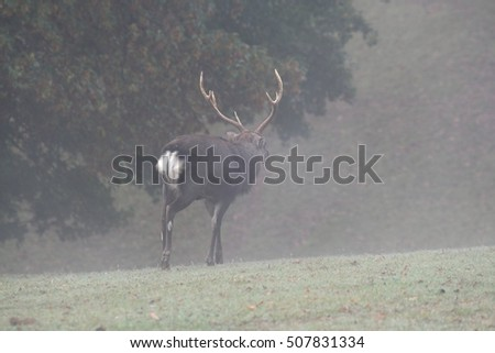 Sika deer goes through the morning fog.
