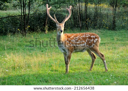 Sika deer on the background of green grass. - stock photo