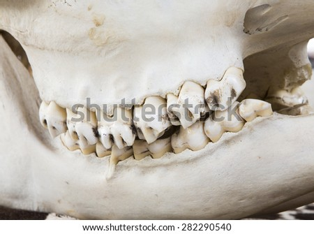 Sika deer skull and jaws side close-up - stock photo