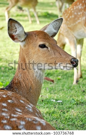 Sika females carry a pair of distinctive black bumps on the forehead. - stock photo