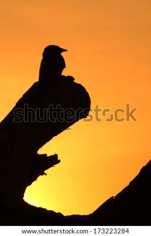 Silhouette bird - stock photo
