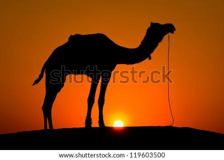 Silhouette camel at sunset on the dunes of the Thar desert. Jaisalmer, India. - stock photo