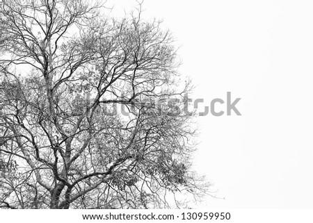 Silhouette Dry tree on white background - stock photo