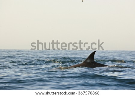 Silhouette of a back fin of a dolphin, swimming in the ocean  and hunting for fish. The Long-beaked common dolphin (scientific name: Delphinus capensis) swim in atlantic ocean. South Africa