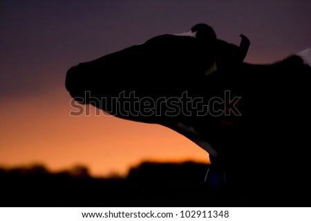 Silhouette of a cow at sunset, Holland