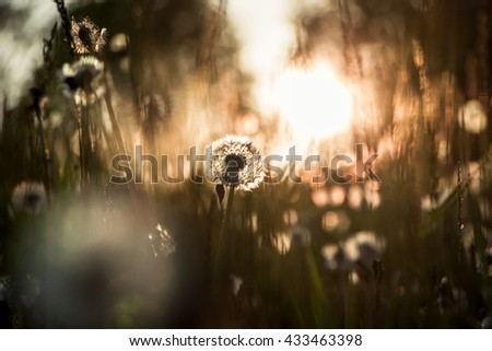 silhouette of a dandelion in a field at the rays of the evening sun - stock photo