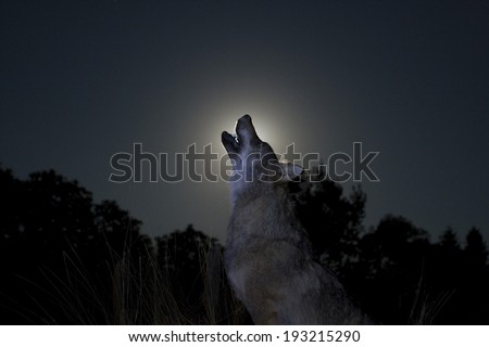 Silhouette of a male wolf in moon light - stock photo