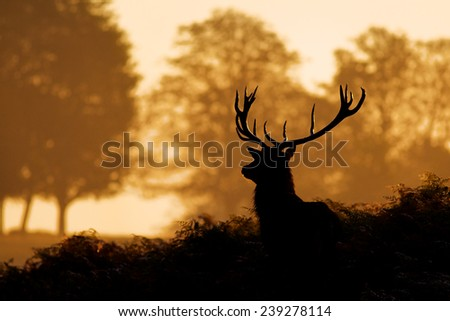silhouette of a red deer - stock photo
