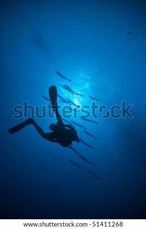 Silhouette of a scuba diver with Blackfin barracuda (Sphyraena qenie) in the background. Shark reef, Red Sea, Egypt.