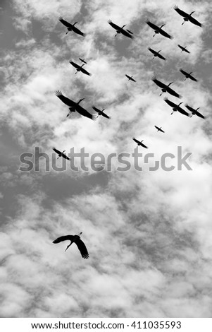 Silhouette of a stork bird flying against  a migrating flock for the concept of rebel against the order.