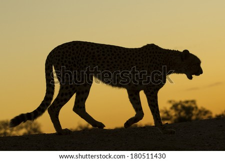 Silhouette of a walking female Cheetah in South Africa - stock photo