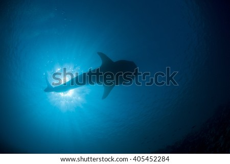 Silhouette of a whale shark from below with the sun in the background. - stock photo