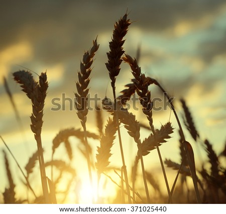 Silhouette of a wheat field in the sunset - stock photo