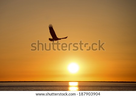 Silhouette of Adult North American Bald Eagle with setting sun  - stock photo