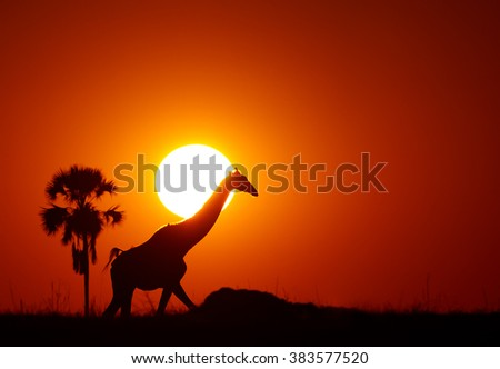 Silhouette of Angolan Giraffe, Giraffa camelopardalis angolensis, walking on horizon with solar disk behind its head. Red and dark orange background with plam tree silhouette.   - stock photo
