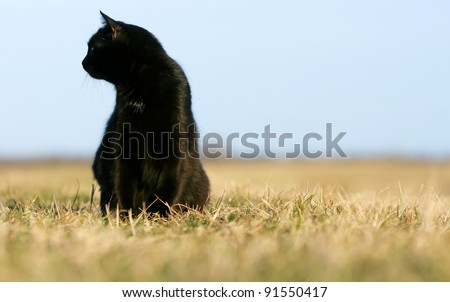 Silhouette of black cat at sunset. Black cat on the meadow. - stock photo