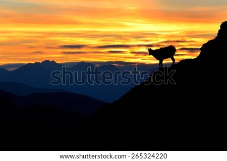 Silhouette of chamois in mountains. Chamois on a steep hillside during the sunset in Tatra mountains, Poland. - stock photo