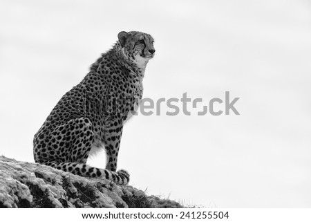 silhouette of cheetah black and white - stock photo