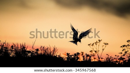 Silhouette of Common Terns on red sunset Sunset Sky. The Common Tern (Sterna hirundo). in flight on the sunset grass background. Sunrise Backlight seabird of the tern family Sternidae  - stock photo