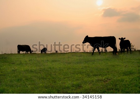 Silhouette of cows on a late evening in the country. - stock photo