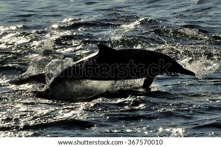 Silhouette of dolphin, swimming in the ocean  and hunting for fish. The jumping dolphin comes up from water. The Long-beaked common dolphin (scientific name: Delphinus capensis) swim in atlantic ocean - stock photo