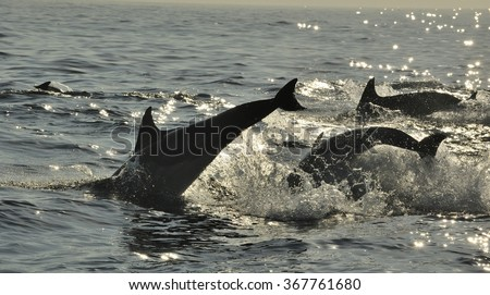 Silhouette of Dolphins, swimming in the ocean  and hunting for fish. The jumping dolphins comes up from water. The Long-beaked common dolphin (scientific name: Delphinus capensis) in atlantic ocean.  - stock photo