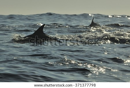 Silhouette of dolphins, swimming in the ocean  and hunting for fish. The jumping dolphins comes up from water.The Long-beaked common dolphin (Delphinus capensis) swim in atlantic ocean  - stock photo