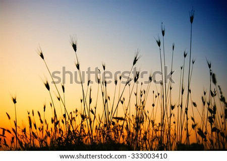 Silhouette of dry grass and mantis in it against sunset sky. - stock photo