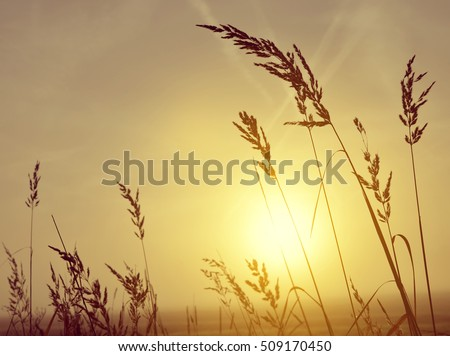 Silhouette of grass in misty sunrise, nature background.