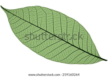 Silhouette of green cherry leaf, isolated on white background - stock photo
