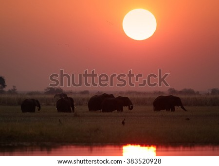 Silhouette of group of African elephants, Loxodonta africana africana, feeding on grass on the riverbank Chobe against red setting sun in background. Chobe national park, Botswana. - stock photo