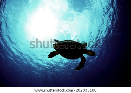 Silhouette of Hawksbill Turtle, Grand Cayman - stock photo
