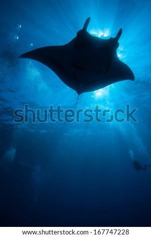 Silhouette of manta ray.  Sun and blue water in background. - stock photo
