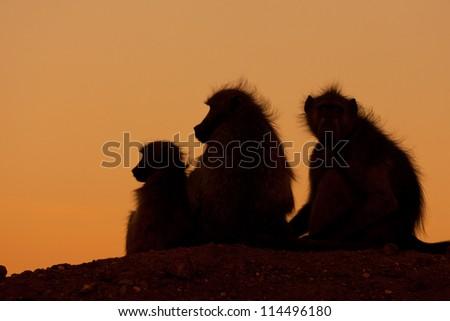 silhouette of monkey family - stock photo