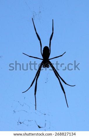 Silhouette of ord spider, queensland, australia - stock photo